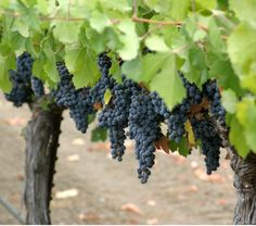 Pinot Noir has a long history in Sonoma County. Long before Miles and Jack left much of Santa Barbara in shambles in the movie Sideways, growers in Sonoma were working out the wheres and whys of Pinot Noir.... http://www.snooth.com/articles/sonoma-pinot-noir/