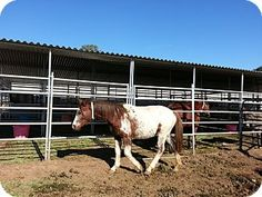 """""""I just adopted this Appaloosa mare Frosty. She's malnourished but I can fix her up! I think she was abused because shes very skiddish around people. The humane society took very good care of her. Can't wait to see her bloom!""""~Joanna."""