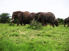 Giraffe, Elephant, Serengeti National Park, Baboon, Hyena, Leopards, World Famous, Acacia, Impala