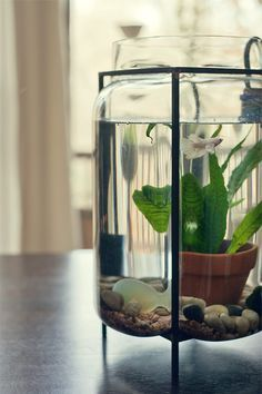 water terrarium with betta fish and under water plants.