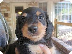 Verona, NJ - Chihuahua/Dachshund Mix. Meet Elizabeth, a puppy for adoption. http://www.adoptapet.com/pet/11254466-verona-new-jersey-chihuahua-mix