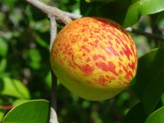 In this list of fruit names and pictures starting with M letter that I made you can found 27 fruit names with they pictures Colorful Fruit, Exotic Fruit, Tropical Fruits, Exotic Plants, Fruit Flowers, Fruit Plants, Edible Plants, Fruit Garden, Weird Fruit