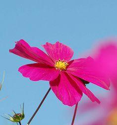 Blue With Cerise Pink Nature Plum Wine Vintage