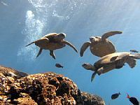 """Turtle Rock, Oahu Hawaii, is a large rock formation about 20 feet underwater where you can snorkel with loads of sea turtles.  We did this as part of a """"swim with wild dolphins/whale watching"""" excursion, it was amazing!"""