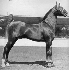 Chief Of Longview in a rarely seen posed shot. He was the world's grand champion five-gaited horse in 1928 and 1929. He won the stallion stake in '27, '28, '29 and '30. He was by Independence Chief, who also sired Night Flower and Lady Jane, both five gaited WGC.