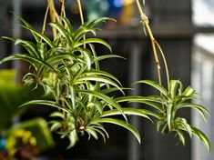 Grow Clean Air With These Plants At Home Or In The Office from Greener by Choice with The Green Up Girl® Inside Plants, Cool Plants, Green Plants, Patio Plants, Indoor Plants, Best Office Plants, Chlorophytum, All About Plants