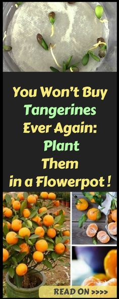 You Won't Buy Tangerines Ever Again_ Plant Them in a Flowerpot and You Will Always Have Hundreds of Them!
