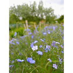 I find it so hard to photograph the flax. The slightest breeze and it starts swaying all over the place. Even when it behaves I can never quite capture the vivid blue of the flowers.  #flax #blueflowers #englishcountryflowers #wildflowers