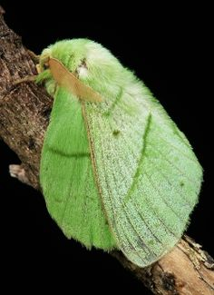 Lime colored Moth