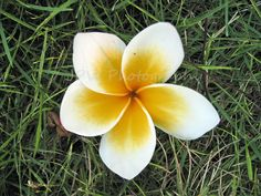 Frangipani Flower, Vietnam Original Photograph Handmade Greetings Card £2.95
