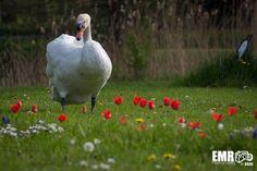 Zwaan in Aktie  by EMR Photography