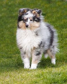 sheltie blue merle puppy