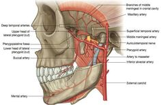 Sphenomandibular Ligament - Health, Medicine and Anatomy Reference Pictures