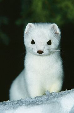 ... AlaskaFreezeFrame Close up Of Pure White Ermine In The Snow | by AlaskaFreezeFrame