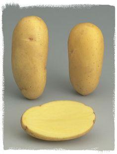 Variété Charlotte - Le plant français de pomme de terre