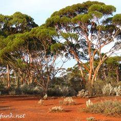 Kalgoorlie Busch- Australien Dolores Park, Plants, Travel, Australia, Destinations, Viajes, Plant, Traveling, Trips