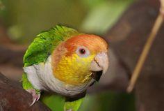 White bellied caique #parrot