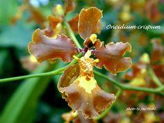 Oncidium Orchids | Curled Oncidium , Oncidium crispum