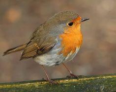 Robin, Robin in my fathers garden.