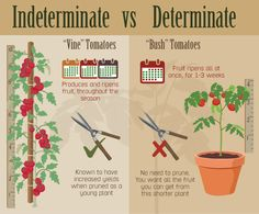 Indeterminate and Determinate Tomato Variety Comparison