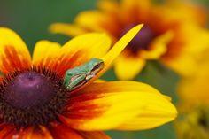 troubadourさんの蛙の夢は... - 写真共有サービス 「写真部」 byGMO