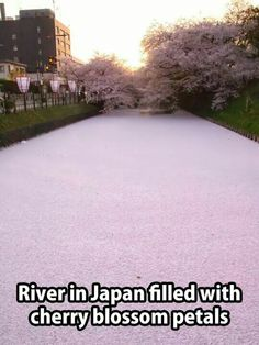 River in Japan covered in cherry blossom petals. Cherry Blossom Petals, Let's Have Fun, Pretty Pictures, Great Places, Amazing Places, Beautiful World, The Good Place, To Go, Country Roads