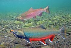 #503 Arctic Char, Coho Salmon, Bristol Bay, Alaska