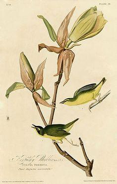 Kentucky Warbler (Audubon)