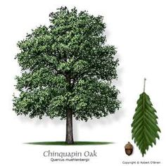 Chinkapin Oak...  Who has eaten the sweet, tasty acorns of the Cinkapin Tree?  My grandmother, and aunt and uncle used to bring them when they visited and they were SO SO good!!