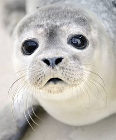 I had a stuffed animal of this little seal when I was a kid