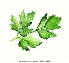 Watercolor image of leaves of parsley on white background - stock photo