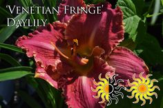 """Venetian Fringe Daylily Plant in full to partial sun, reaches a height up to 24"""""""
