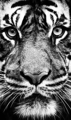 tiger, wallpaper, and animal image