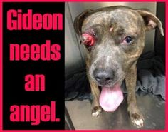 On Friday evening, the Urgent Animals in Waco page posted a picture of an unnamed pit bull--ID 21292570. He is young, stunning, and suffering with a protruding eye ball. This 56 pound, brindle pit bull is two years old and fighting against the clock for a new chance at life. To see the full...