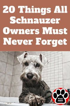 20 Things All Schnauzer Owners Must Never Forget. The Last One Brought Me To Tears… Dogs miniature schnauzer puppies Schnauzer Mix, Miniature Schnauzer Black, Schnauzer Grooming, Standard Schnauzer, Giant Schnauzer, Dog Grooming, Black Schnauzer, Mini Shnauzer, Most Popular Dog Breeds