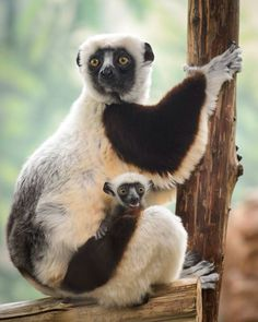 Coquerel's Sifaka, an endangered lemur species from Madagascar, at the Saint Louis Zoo's Primate House!