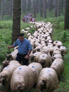 Paysan du Pays Basque. Chercher son petit Berger des Pyrénées.Il faut agrandir un peu la photo, mais je l'ai vu tout de suite.Sur le côté droit du troupeau...
