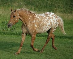 appaloosa mare | Flickr - Photo Sharing!