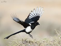magpie pictures   Recent Potpourri Of Birds From Antelope Island   Feathered ...Utah