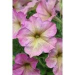 PETUNIA DEBONAIR DUSTY ROSE (pellets)