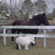 Dwarfism in Miniature Horses Pretty Horses, Horse Love, Beautiful Horses, Animals Beautiful, Cute Baby Animals, Animals And Pets, Funny Animals, Nature Animals, Horse Pictures