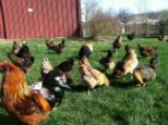 Awesome Chicken Chart shows which breeds can/can't tolerate confinement (backyards chickens) and which breeds are best/worst for free-range. Plus lots of other helpful info for choosing the right breeds for you.