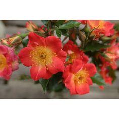 klimroos 'Little Copper' – Scarman (2009). Zomerbloei. Enkele bloemen met een aparte kleur : koper in de knop tot donker roodbruin in de uitbloei. Ronde oranje bottels. Tot 3m.