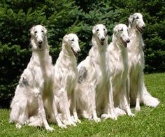 borzoi dog photo | borzoi is an intelligent pet here is your informative a list of borzoi ...