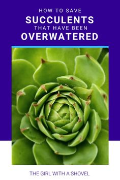 Did your succulent get a bit too wet?! Here's how to take care fo your overwatered succulent to help it survive and start growing again! Succulent Too Much Water   Succulent Care   Succulent Problems   How to Care for Succulents  