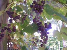 Die 39 besten bilder von garten weintrauben pflanzen for Weintrauben im garten anbauen