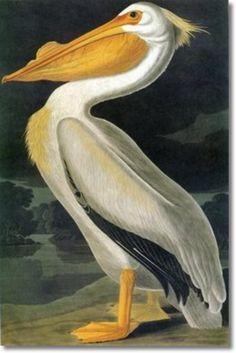 Audubon--pelican--state bird