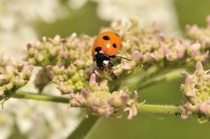 Coccinelle, Insectes - Philippe Chailland - MonSitePhotos