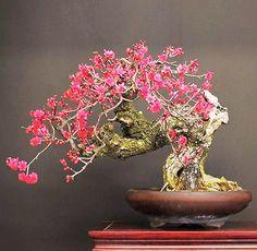 JPB:Bonsai Collection 10 | 紅梅 koubai.