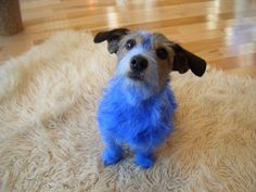 Tilly the blue Jack Russell!